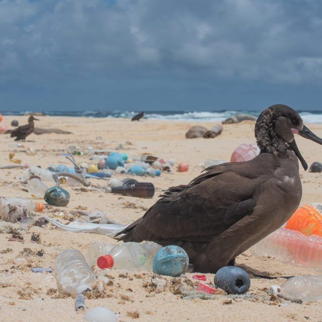 baby albatross and Plastic Pollution